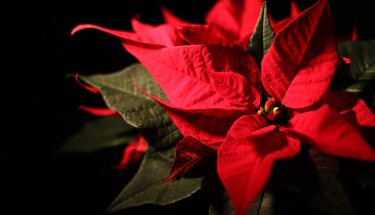 Forget the Mistletoe: Holiday Landscaping and Gardening in Cape Coral