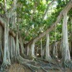 banyan tree at Edison Estates