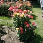 roses-florida