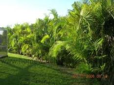 Areaca hedge