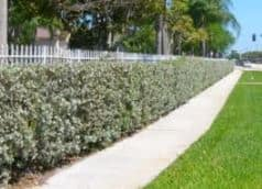 buttonwood hedge