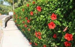 hibiscus hedge