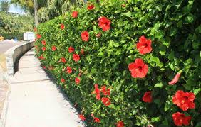 hibiscus-hedge