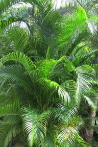 Areca-palm-Dypsis-lutescens