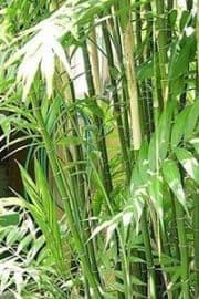 Florida Bamboo Palm