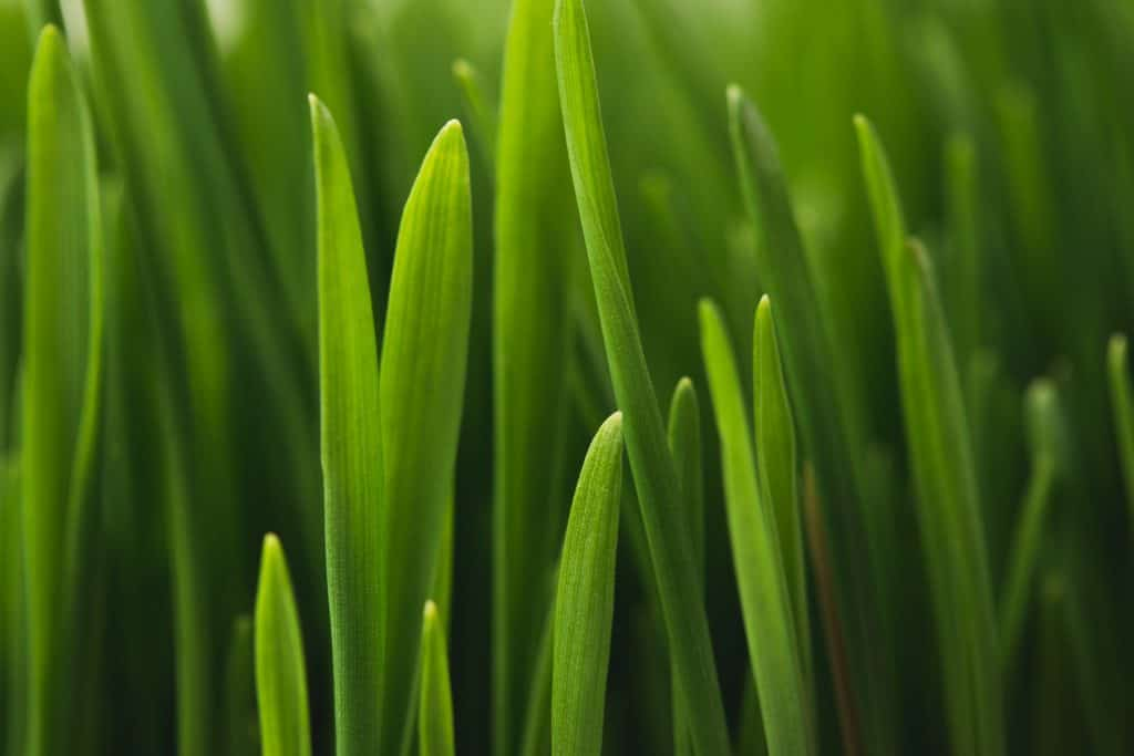 what-makes-grass-healthy-and-strong