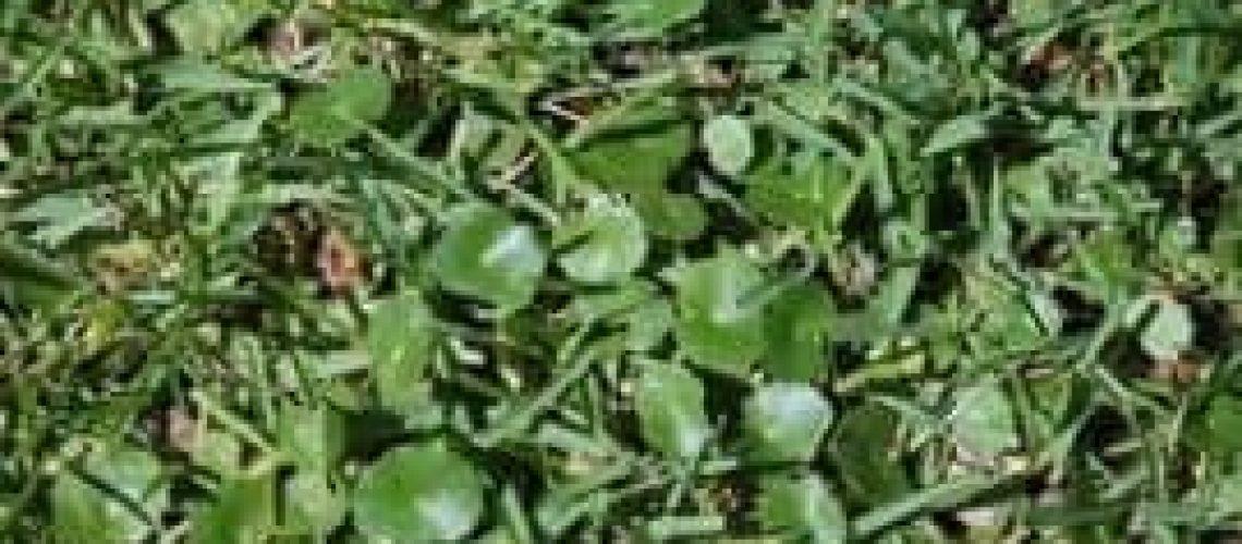 193_dollar weed