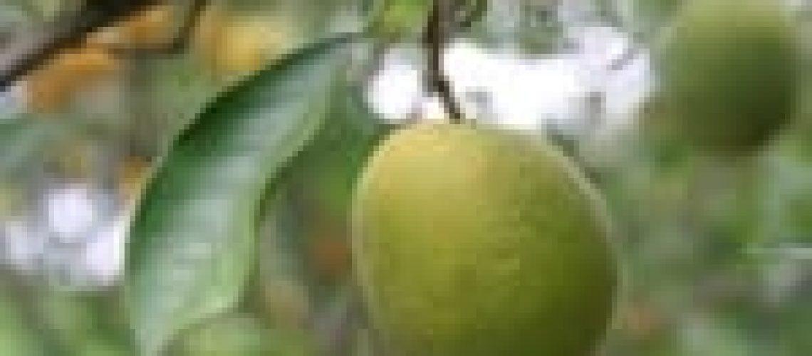 Citrus-Greening-150x105