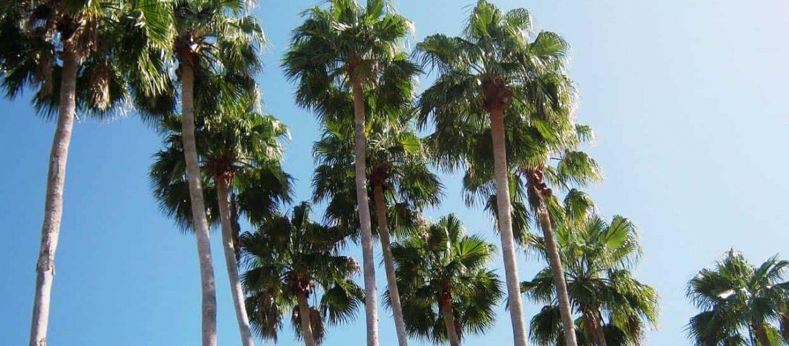Florida Palm Tree