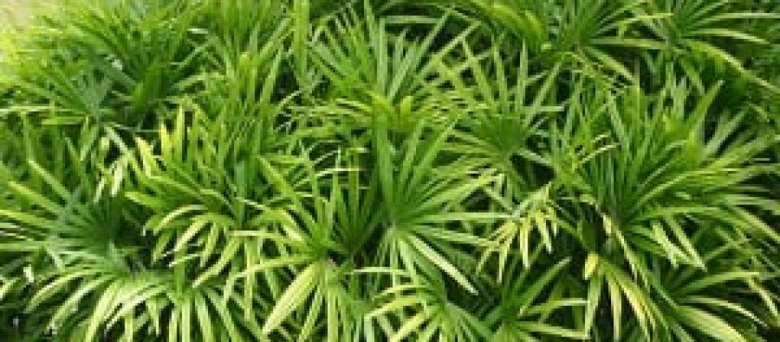 Lady-Palm-Rhapis-excelsa