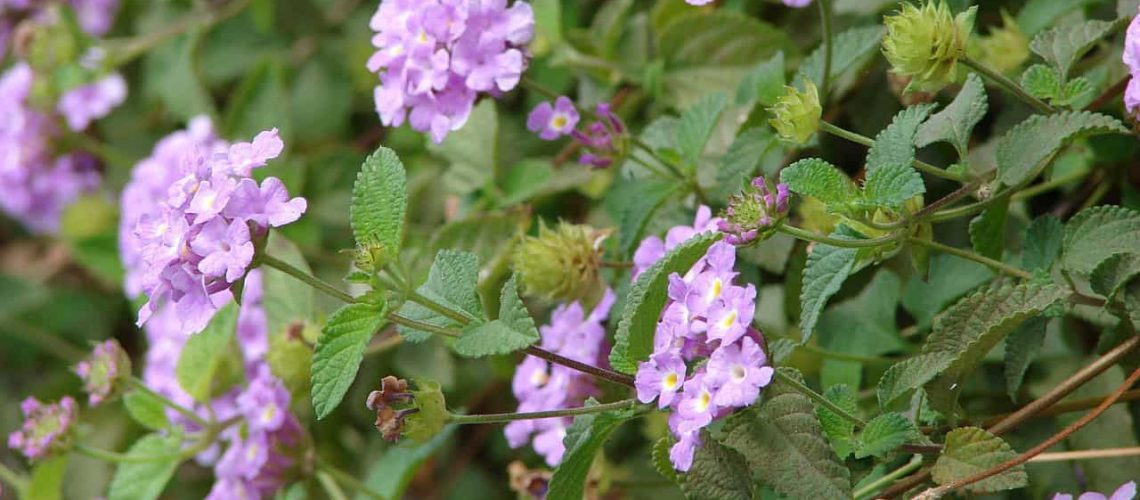 Pink and Purple Heat-Tolerant Flowers for a Blazing Summer