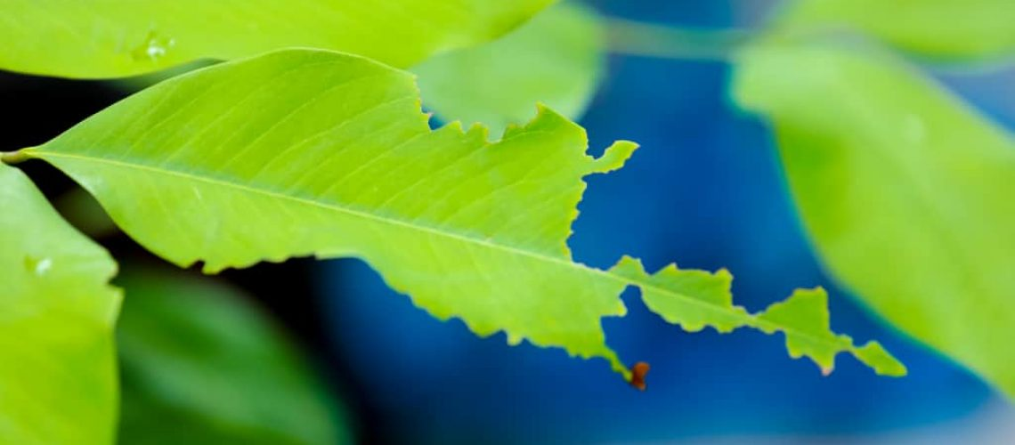 The leaves are eaten by insects.