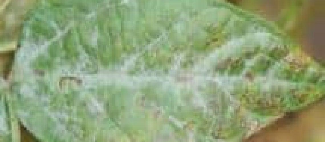powdery mildew on impatien leaves