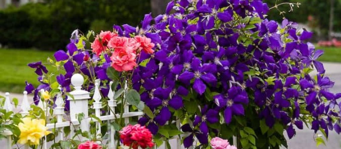 Rose Gardens: Roses in combination with the following: Clematis species