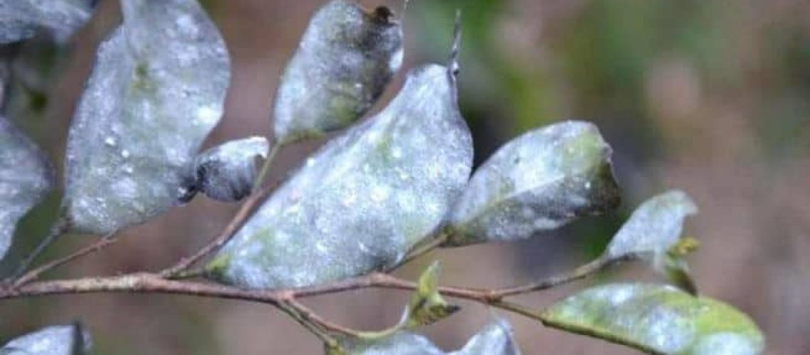 white fly infesested leaves